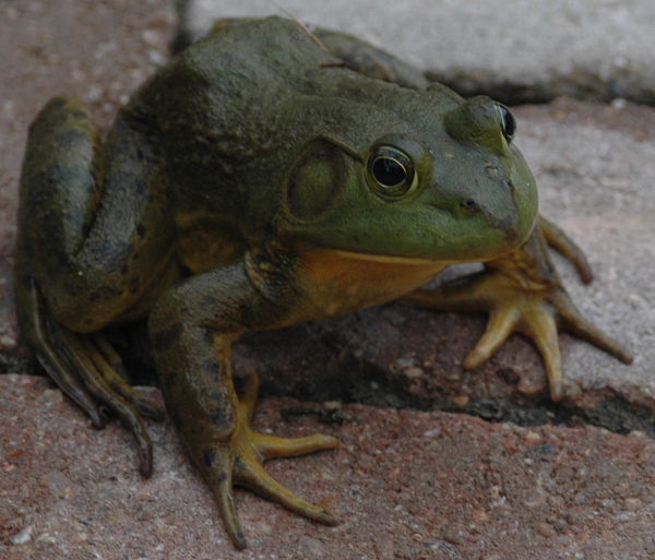 Bigass frog that moved onto the patio