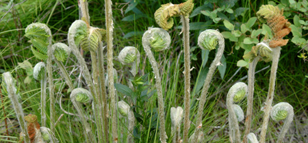 I think these are fiddlehead ferns