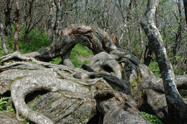 Rhododendron root formation on walk through Craggy Gardens