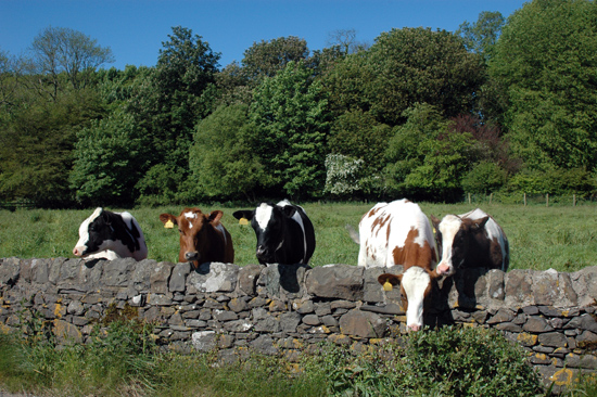 The cows pose for their close-up